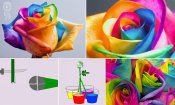 how-to-make-a-rainbow-rose.jpg